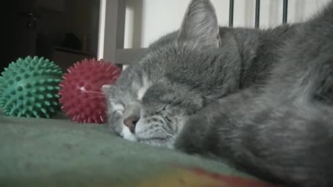 Dad Keeps Coughing While Cat Tries To Sleep. Now Watch How The Cat Reacts …I'm In Stitches!