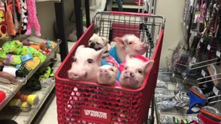 Four Piggies And A Pug Go Grocery Shopping With Owner - Video