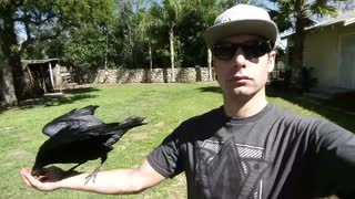 Pet Crow Named Jon Snow - Video