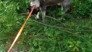 husky doesn't leave his favorite tree branch in forest