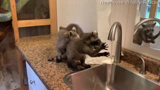 Orphaned Raccoons Wash Their Hands Together