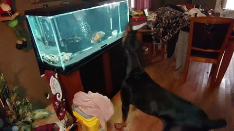 Doberman Suspicious of Fish