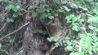 porcupine tree climbing - Video