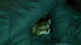 Little Kitten Falls Asleep in Blanket.