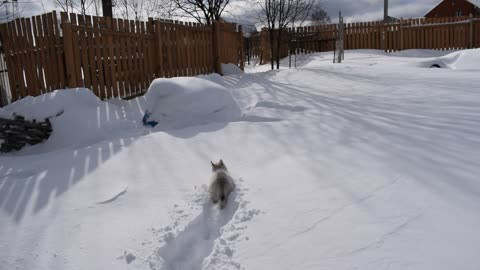 A small husky puppy will conquer the snowy plains