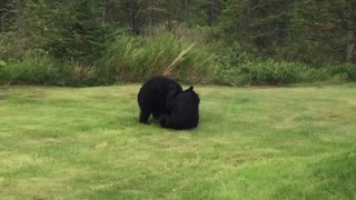Bear Cubs Play in Woman's Yard