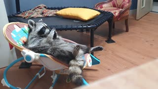 Raccoon lies in the baby reclined cradle, wiping his hands and feet with saliva.