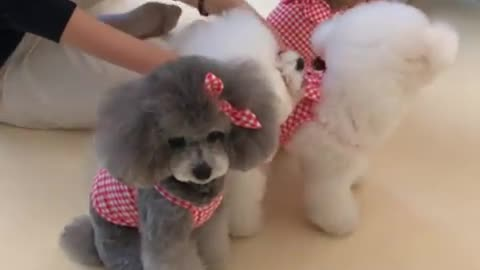 Poodle menacingly stares at camera during photo shoot