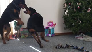 Young rottweilers love to play tag with each other