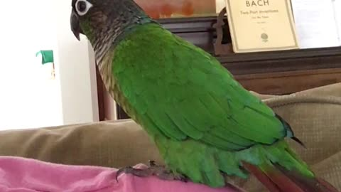 Parrot dances in sync with owner