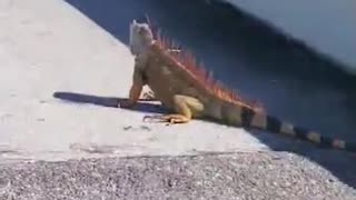 Strangers Help Save Iguana on Highway