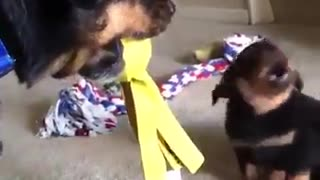 altercation between mother and little dog - Video