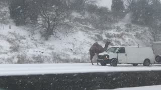 Camel on Highway in Snow