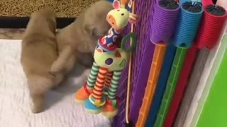 2 cute little golden puppies play together - Video