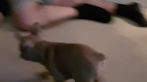 Charlie the frenchie chases owner
