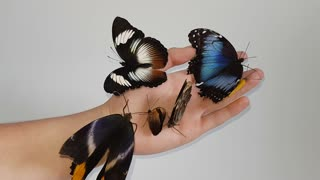6 Butterfly Species on Hand - Video