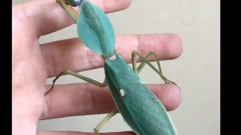 HUGE MANTIS GRABS MY HAND