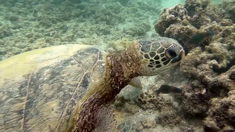 Lovely sea turtle eating