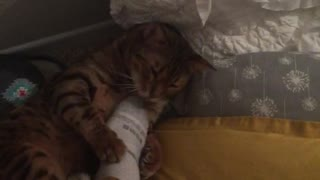 Brown cat on yellow bed gets belly scratched by foot - Video