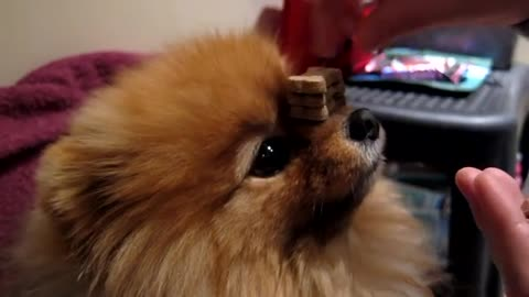 Pomeranian dog balances 10 treats on nose