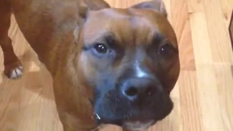 Singing dog belts out Happy Birthday with his owner