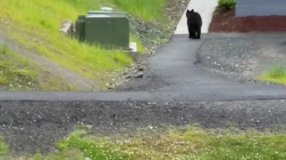 Black Bear Chases Dog - Video