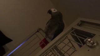 Parrot repeating peekaboo  - Video