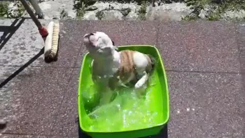 Bulldog puppy enjoying his own pool party