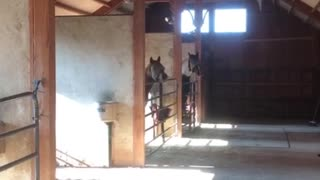 Horses are excited to get their breakfast