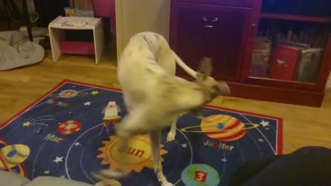 Trying to catch his tail, whippet puppy William