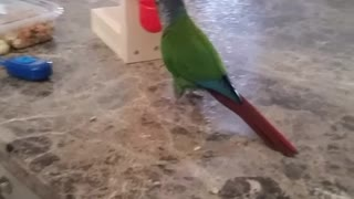 Green parrot puts red ball into basket - Video