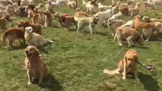Massive gathering of Golden Retrievers breaks world record
