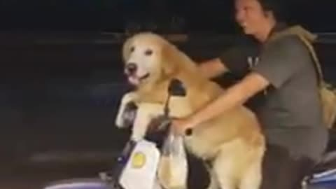 Dog rides scooter with owner in Thailand
