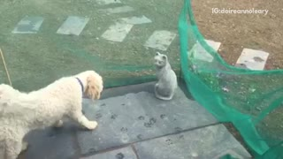Dogs bark at stone cat  - Video