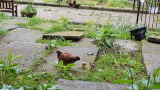 Chickens in grave yard. Haworth UK