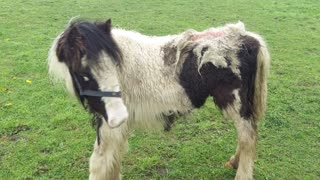 Pony Found Being Eaten Alive By Maggots Meets Lady Who Discovered Him - Video