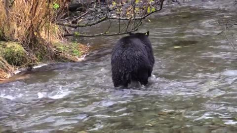 Black bear looking for food