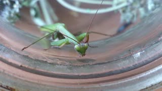 Praying Mantis drinks water  - Video