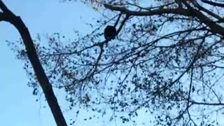 Monkey falls on ground from tree  - Video
