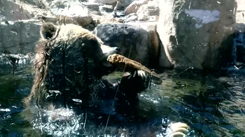 Huge Grizzly Bear Adorable Playing In Water At CMZ Up Close!!