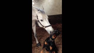 Horse and Doberman share incredible bond - Video