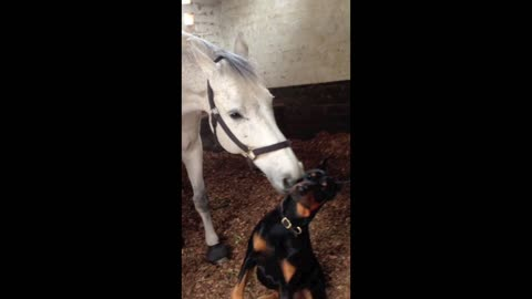 Horse and Doberman share incredible bond