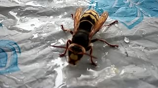 A huge wasp drinks water