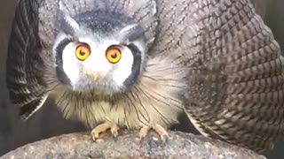 Amazing transformation the owl