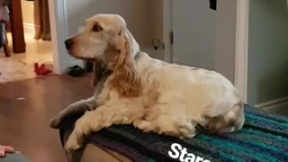 Tan dog staring at owner while sitting on ottoman  - Video