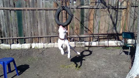 The dog rides on a swing