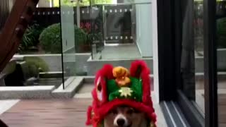 Chinese New Year Lion Corgi - Video