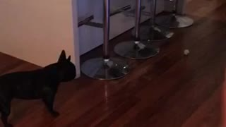 French Bulldog destined to be soccer star - Video