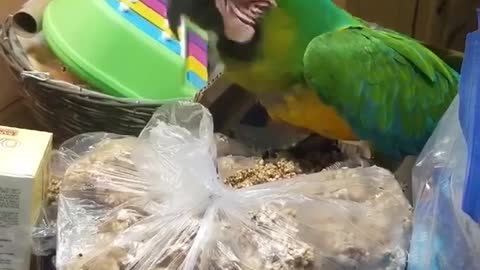 Sam The Macaw Scales The Kitchen Island To Get To A Bag Of Treats