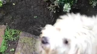 White scruffy dog drinks water sprayed at him - Video